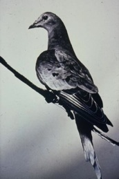 The last passenger pigeon, 1914